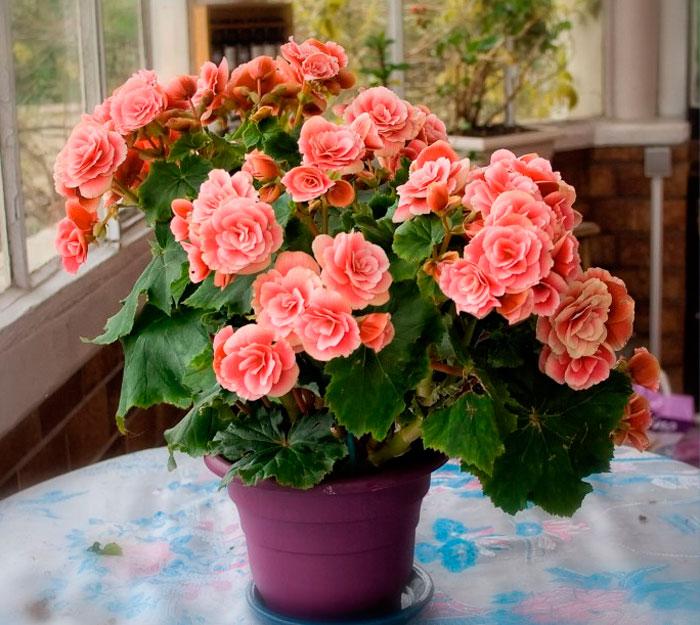фото-begonia
