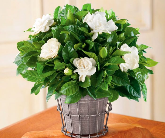 фото-gardenia